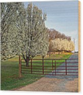 Pear Tree Blossoms In The Carolinas Wood Print