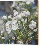 Pear Tree In Bloom Wood Print