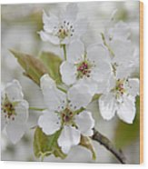 Pear Tree White Flower Blossoms Wood Print