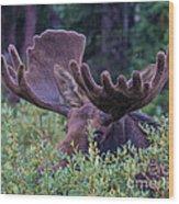 Peek-a-boo Moose Wood Print