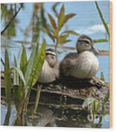 Peeking Ducks Wood Print