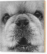 Pekingese Puppy Wood Print