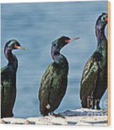 Pelagic Cormorants Wood Print