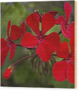 Pelargonium Wood Print