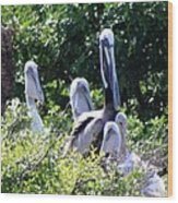 Pelican Father With 4 Young Wood Print