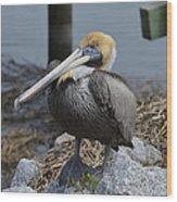 Pelican On Rocks Wood Print