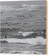 Pelicans Lunching At Ft. Stevens Oregon Wood Print