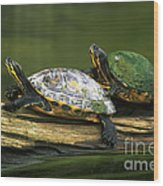 Peninsula Cooter Turtles Wood Print