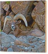Peninsular Desert Bighorn Wood Print
