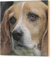 The Beagle Named Penny Wood Print
