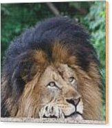 Pensive Lion Wood Print