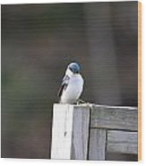 Pensive Tree Swallow Wood Print