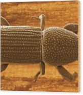 Pentarthrum Huttoni Weevil Wood Print