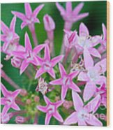 Pentas 'cranberry Punch' Flowers Wood Print