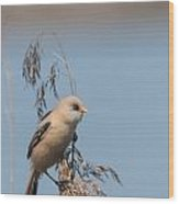 Perched Bearded Reedling Juvenile Wood Print