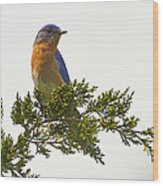 Perched Eastern Bluebird Wood Print