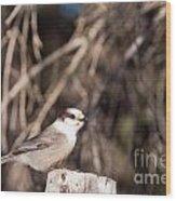 Perched Grey Jay Perisoreus Canadensis Watching Wood Print