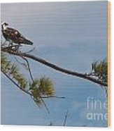 Perched Osprey Wood Print