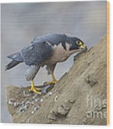 Peregrine Cleaning Beak Wood Print