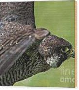 Peregrine Falcon 4 Wood Print