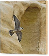 Peregrine Falcon Flying By Cliff Wood Print