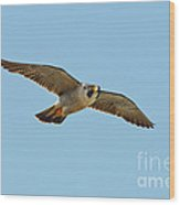 Peregrine Falcon In Flight Wood Print