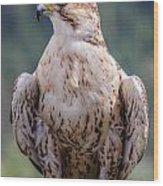 Peregrine Falcon Wood Print