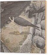 Peregrine Falcon On A Ledge Wood Print
