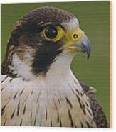 Peregrine Falcon Portrait Ecuador Wood Print