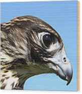 Peregrine Falcon Tashunka Wood Print
