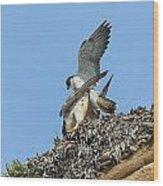 Peregrine Falcons - 5 Wood Print