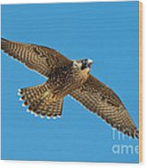 Peregrine Young Screaming For Food Wood Print