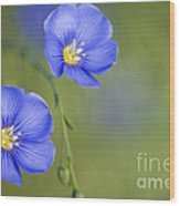 Perennial Flax Flowers Wood Print