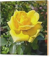 Perfect Yellow Rose Wood Print