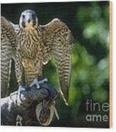 Perigrine Falcon Wood Print