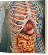 Perspective View Of Human Body, Whole Wood Print