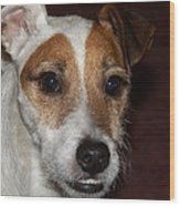 Petey Dog Jack Russell Wood Print