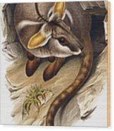 Petrogale Xanthopus      Ch 991244 Wood Print
