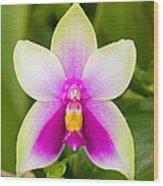 Phalaenopsis Bellina Wood Print