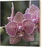 Phalaenopsis Helen Alice Mary 2346 Wood Print