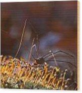 Phalangid Among The Moss Capsules Wood Print