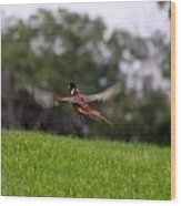 Pheasant Take Off Wood Print