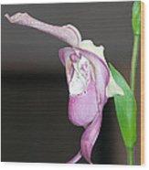 Phragmipedium - Phrag Frank Smith Orchid Wood Print