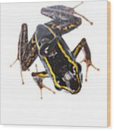 Phyllobates Lugubris With A Tadpole Wood Print by JP Lawrence