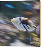 Picasso - Lagoon Triggerfish Rhinecanthus Aculeatus Wood Print