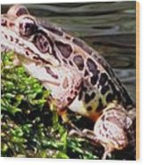 Pickerel Frog Wood Print