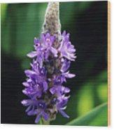 Pickerel Weed Flowers Wood Print