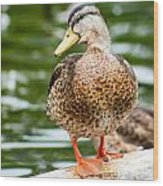 Picture Perfect - Mallard Duck Wood Print