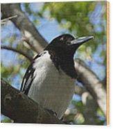 Pied Butcher Bird Wood Print