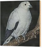Pied Imperial Pigeon Wood Print
